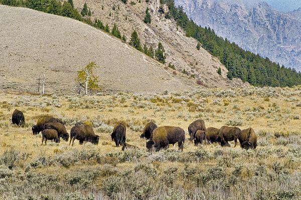 Bison Grazing Beneath The Tetons Print by Robert Carney