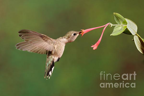 Black-chinned Hummingbird Print by Scott Linstead