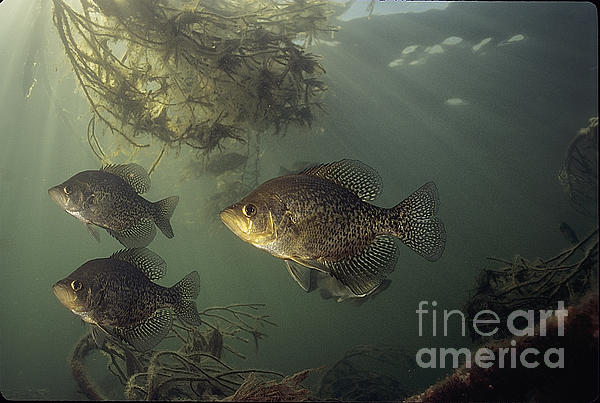Black Crappie Trio Print by Engbretson Underwater Photography