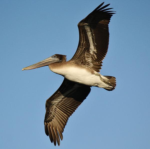 Brown Pelican Print by Paulette Thomas