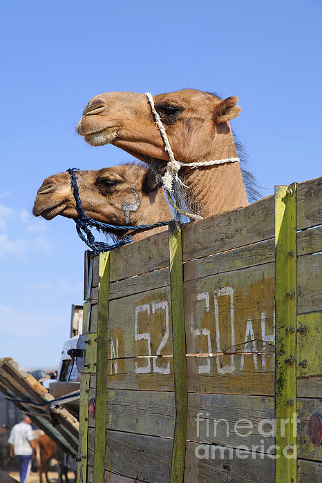 Camels At The Ashgabat Sunday Market In Turkmenistan Print by Robert Preston