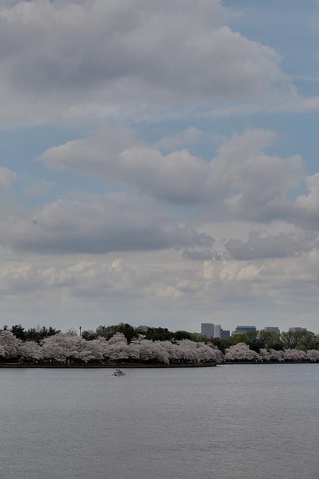 Cherry Blossoms - Washington Dc - 011324 Print by DC Photographer