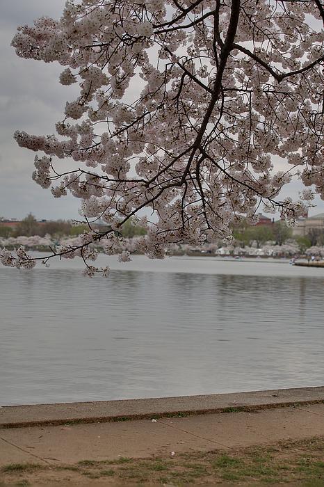 Cherry Blossoms - Washington Dc - 011336 Print by DC Photographer