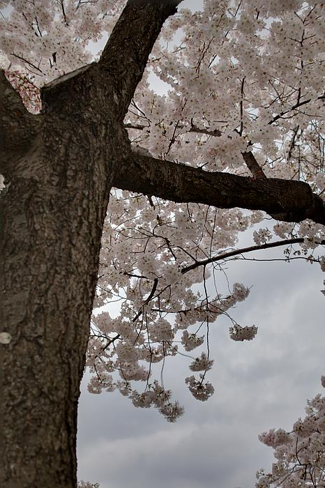 Cherry Blossoms - Washington Dc - 011340 Print by DC Photographer