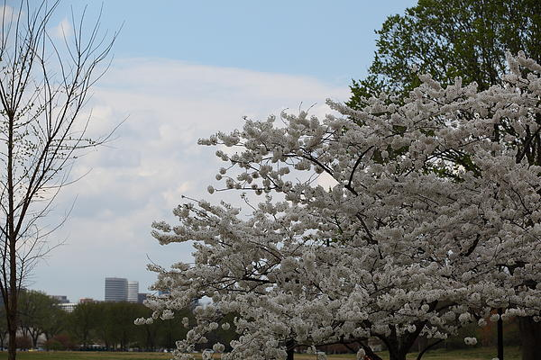 Cherry Blossoms - Washington Dc - 011344 Print by DC Photographer