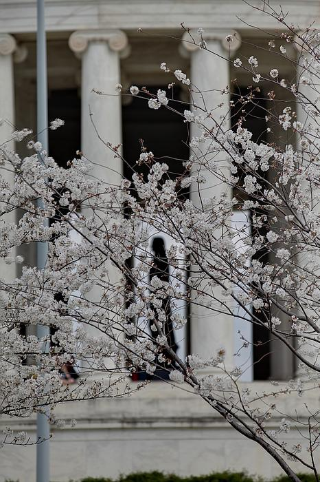 Cherry Blossoms With Jefferson Memorial - Washington Dc - 01131 Print by DC Photographer