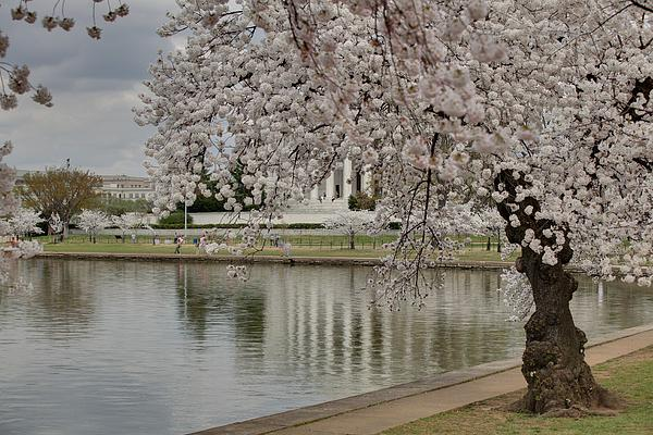 Cherry Blossoms With Jefferson Memorial - Washington Dc - 01135 Print by DC Photographer