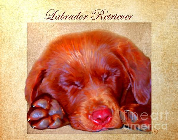 Chocolate Labrador Puppy Print by Iain McDonald