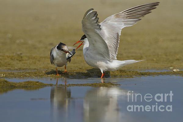 Common Tern Sterna Hirundo Print by Eyal Bartov