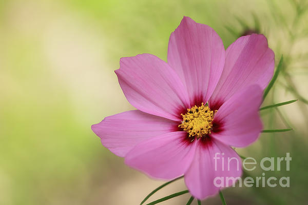 Cosmos... Print by HJBH Photography