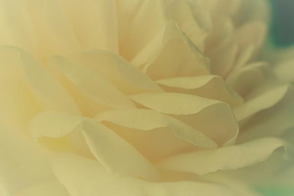 The Art of Marilyn Ridoutt-Greene - Creamy Yellow Rose