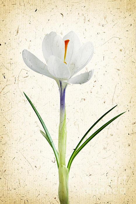 Crocus Flower Print by Elena Elisseeva