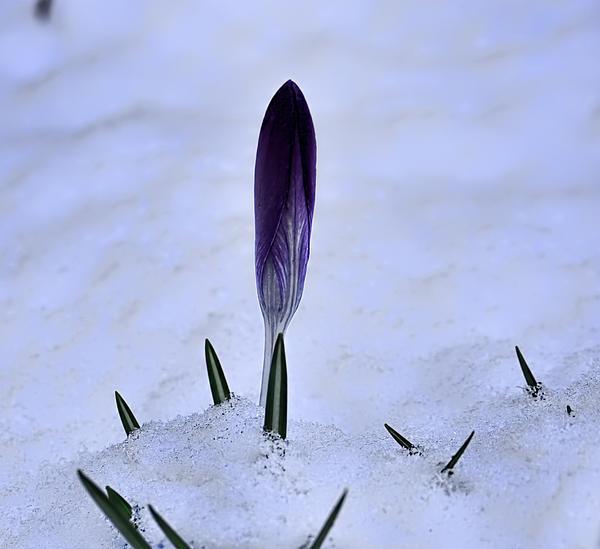 Crocus In Snow Print by Leif Sohlman