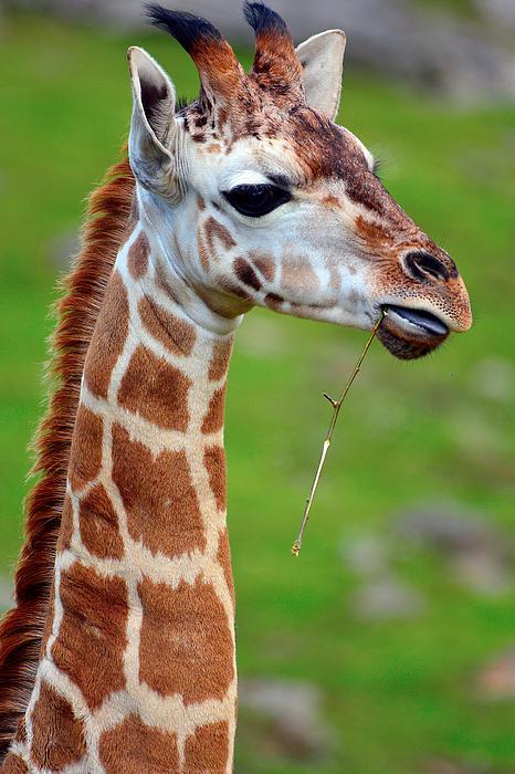 Tommy Hammarsten - Curious giraffe