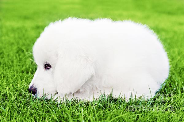 Michal Bednarek - Cute white puppy dog lying on grass