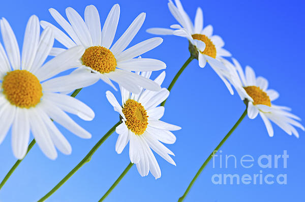 Daisy Flowers On Blue Background Print by Elena Elisseeva