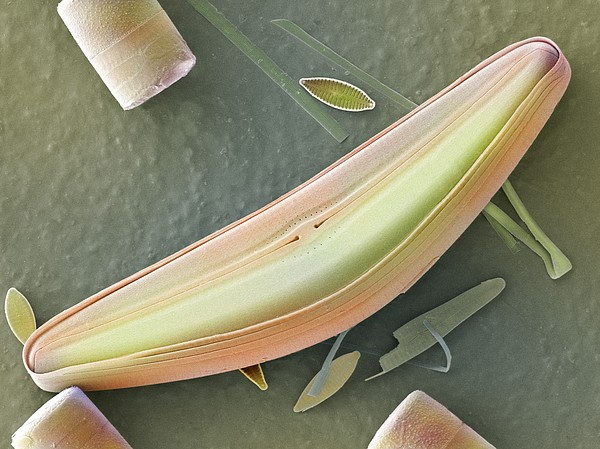 Diatom Frustules (sem) Print by Science Photo Library