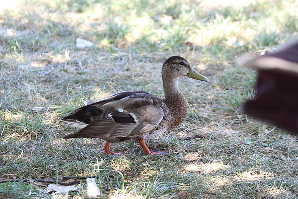 Duck - Animal - 01133 Print by DC Photographer