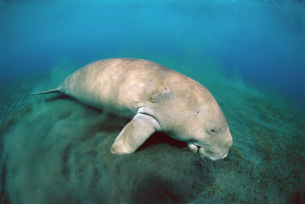 Dugong  Feeding On Sea Grass Print by Mike Parry
