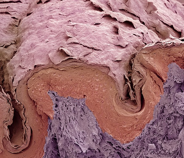 Finger Skin, Sem Print by Science Photo Library