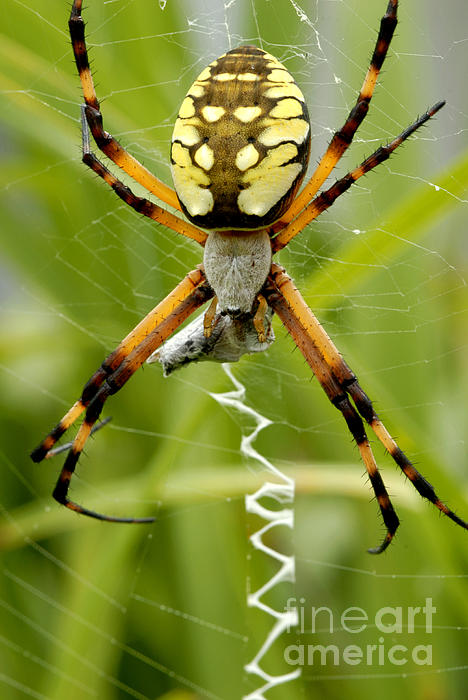 Australian garden orb weaver spider  Wikipedia