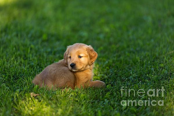 Golden Retriever Puppy Print by Linda Freshwaters Arndt