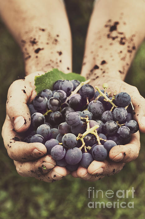 Grapes Harvest Print by Mythja  Photography