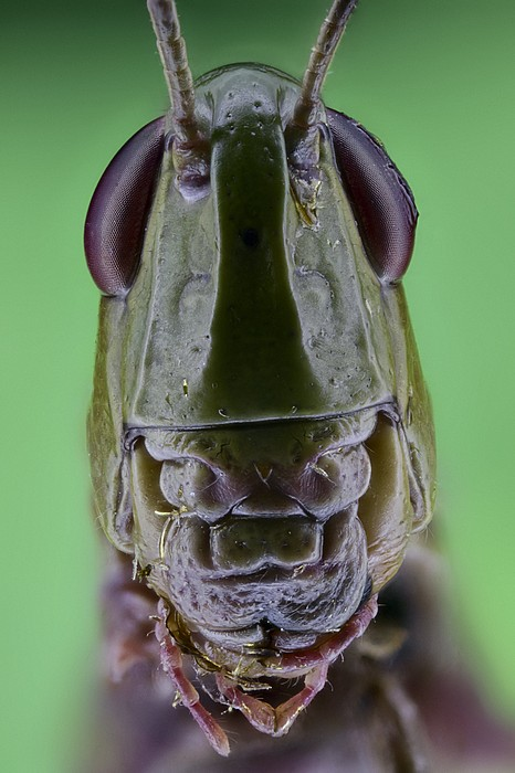 Grasshopper Head Print by Science Photo Library