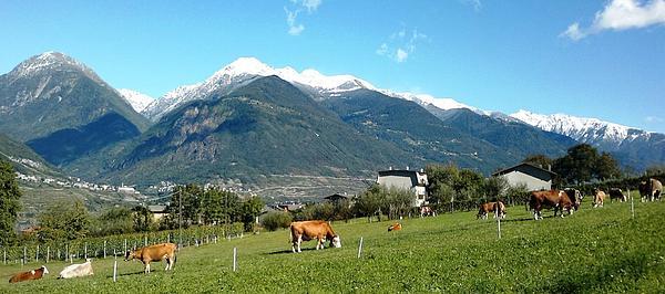 Grazing Cows Print by Giuseppe Epifani