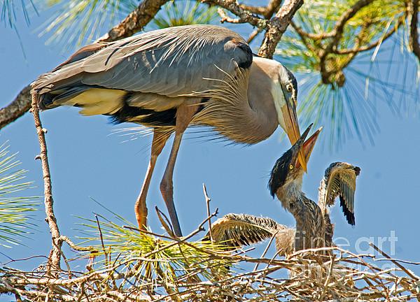 Great Blue Heron Adult Feeding Nestling Print by Millard H. Sharp