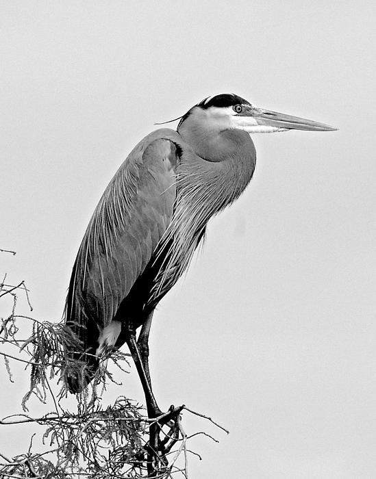 Norman Johnson - Great Blue Heron in Cypress tree