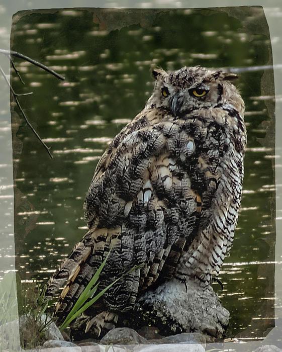 Great Horned Owl Print by Ernie Echols