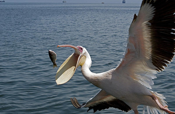 Great White Pelican Pelecanidae Catching A Fish By Dray