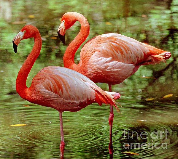 Greater Flamingoes  Print by Millard H Sharp