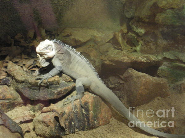 Grey Iguana  Print by Ann Fellows