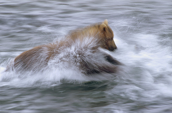 Grizzly Bear Chasing Fish Print by Matthias Breiter