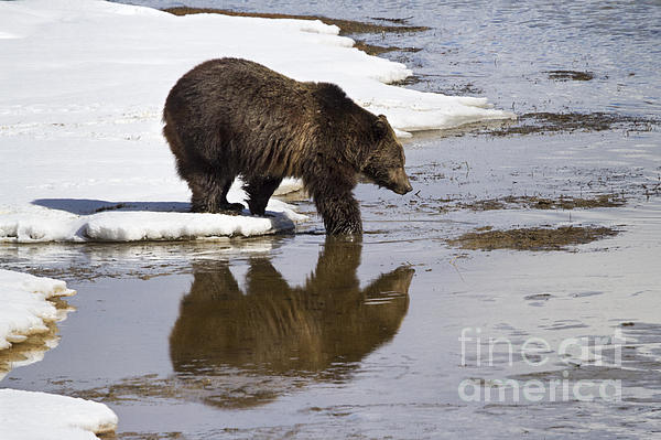 Grizzly Bear Stepping Into Water Print by Mike Cavaroc