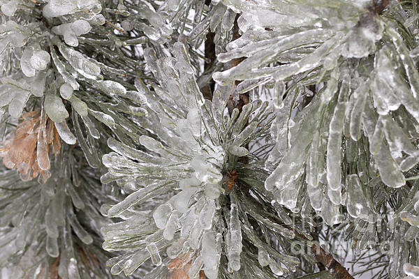 Ice On Pine Branches Print by Blink Images