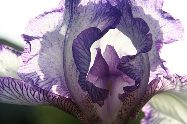 Iris Print by Monika A Leon