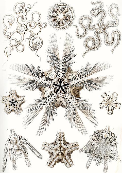 Kunstformen Der Natur Print by Ernst Haeckel