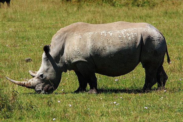 Lake Nakuru White Rhinoceros Print by Aidan Moran