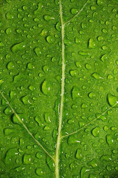 Leaf Dew Drop Number 12 Print by Steve Gadomski