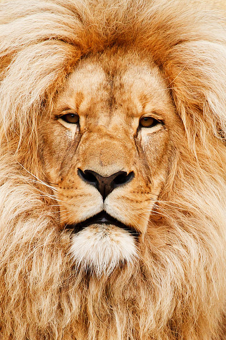 Lion Portrait Print by Tilen Hrovatic