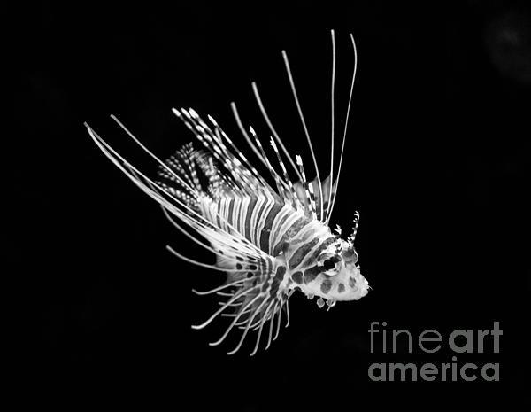 Little Lionfish Print by Jamie Pham