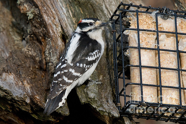 Male Hairy Woodpecker Print by Linda Freshwaters Arndt