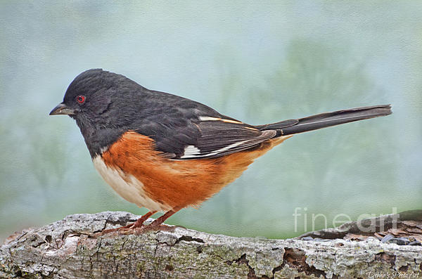 Debbie Portwood - Male Spotted Towee - Digital Paint