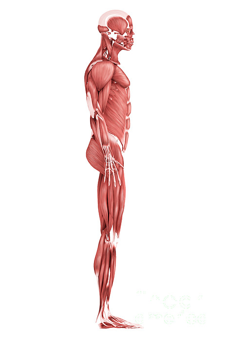 Medical Illustration Of Male Muscular Print by Stocktrek Images