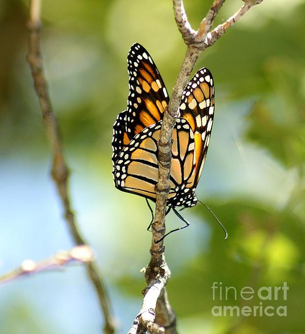 Monarch Print by Lori Tordsen