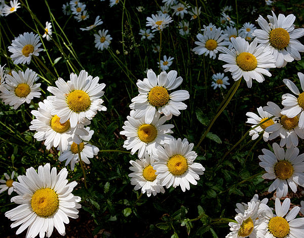 Jim Garrison - Mountain Daisies