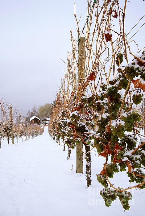 Okanagan Valley Vineyards In Winter Print by Kevin Miller